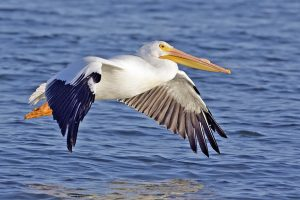 Pelican along the beaches of the MOORINGS